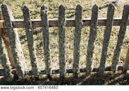 The Wooden Picket Fence Is Abundantly Covered With Gray Moss With The Onset Of Spring