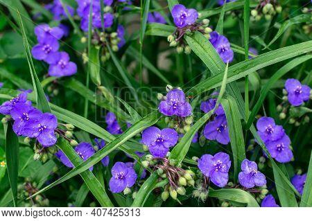 Virginia Spiderweb Bush (tradescantia Virginiana) Close Up. Tradescantia Ohiensis, Commonly Known As