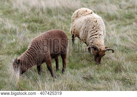 Manx Loaghtan Ewe Rare Breed Sheep With Dark Brown Head, Legs, Lighter Brown Coat, Curled Horns With