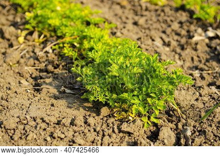 Young Parsley On The Ground On A Sunny Morning, Thin Stalks Of Green Young Parsley Grow On Freshly P