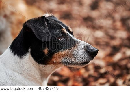 Black And White Smooth Haired Jack Russell Terrier Portrait In Profile. Walk With Jack Russell In Au