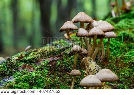Mushrooms False Honey Fungus On A Stump In A Beautiful Autumn Forest.group Fungus In Autumn Forest W