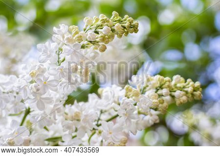 White Lilac. Spring Blooming Flowers Of White Lilac On Lilac Bushes. Natural White Flower Background