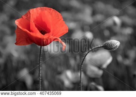 Red Poppy Anzac Day On Black. Remember, Memorial Day