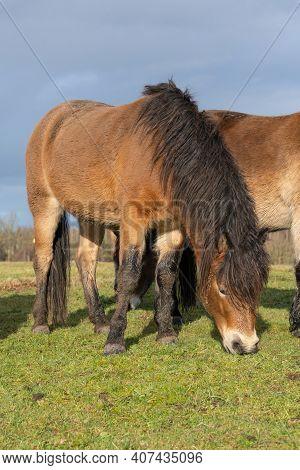 Herd Of Wild Exmoor Ponies, Equus Ferus Caballus, Graze In A Nature Reserve