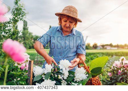 Senior Woman Gathering Flowers In Garden. Elderly Retired Woman Cutting Peonies With Pruner Putting