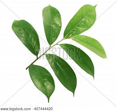Tropical Soursop Leaf Isolated On White Background