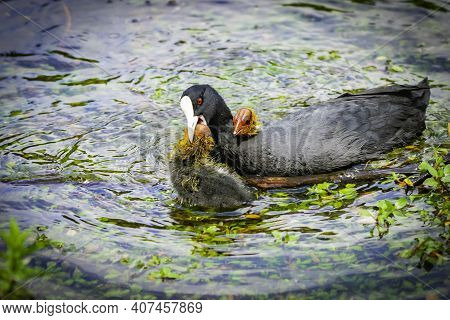 Australian Coot And Chick In Water With Parent Playing Together With Parent Holding One Chicks Head
