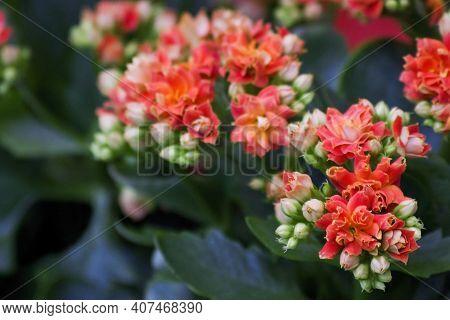 Kalanchoe Blossfeldiana (calandiva, Flaming Katy, Florist Kalanchoe) Coral Orange Flowers. Colorful