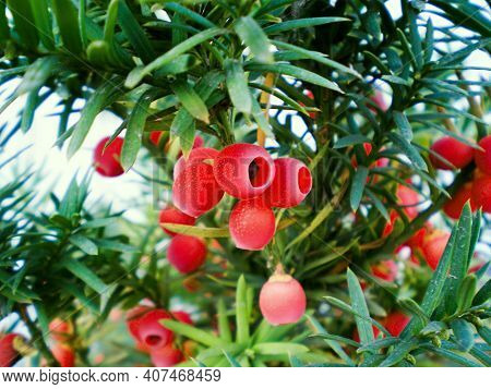 Yew Tree (taxus Baccata) Red Berries. Closeup Of Red Yew Berries Among Green Yew Tree Branches. Engl