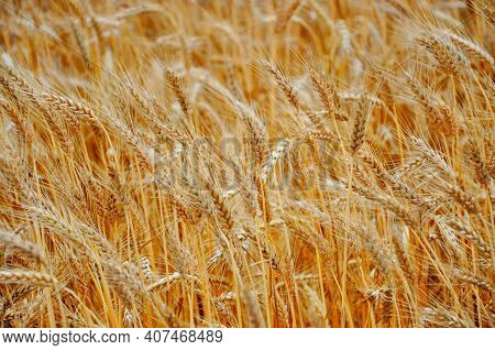 Wheat Crop Field. Gold Wheat Ear Or Barley Harvest Background. Farm Cereal Field Of Wheat Plant - Ri