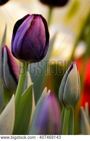 Violet Black Tulip Close-up In Spring Farm Field. Violet Color Or Purple Tulip For 8 March Womans Da