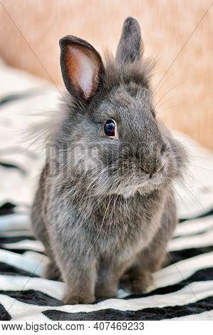 Gray Bunny Fluffy Rabbit Baby Sitting On Carpet. Portrait Of Cute Domestic Tiny Bunny Rabbit Cub At