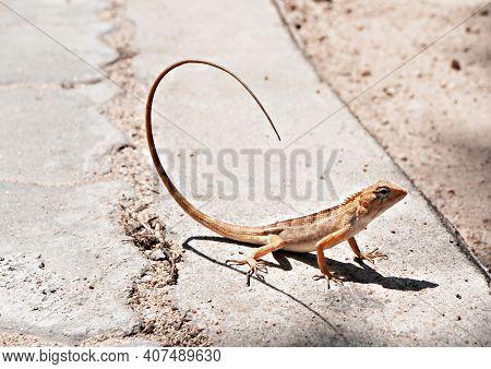 Tropical Oriental Garden Lizard Female, Eastern Garden Lizard, Bloodsucker, Changeable Lizard Calote