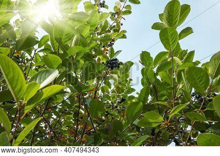 Rowan, Aronia Aronia, Chokeberry (latin Aronia Melanocarpa) On A Branch. Autumn Background.