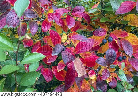 Colorful Autumnal Background With Red Leaves Close Up. Multicolored Foliage Cotoneaster Lucidus In F