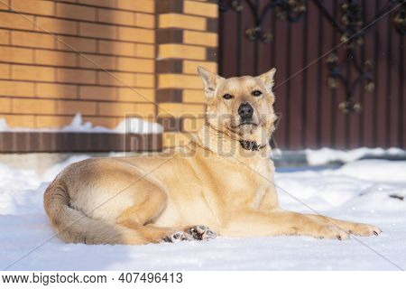Beautiful Serious Dog Lying On Ground On Snow Near Fence Of Owner Country House. Big Proud Guard Dog