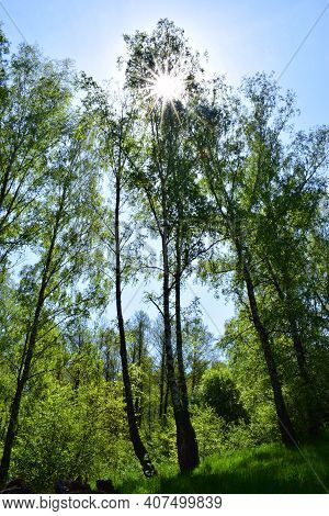 Beautiful Birch Trees With White Birch Bark In A Birch Grove With Green Leaves. Birch Trees In The S