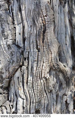 White Mulberry Bark Detail - Latin Name - Morus Alba