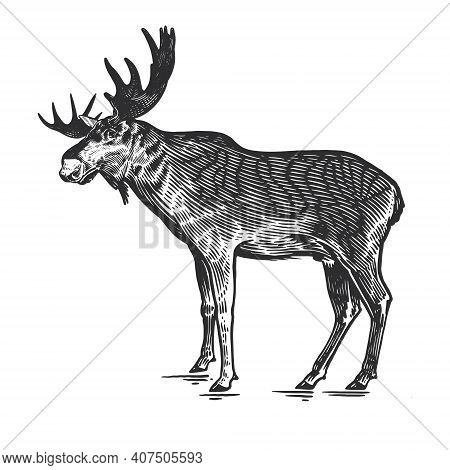 Forest Animal Moose. Hand Drawing Sketch Black Ink Isolated On White Background. Vector Art Illustra