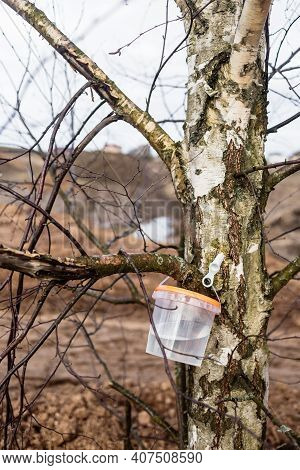 Harvesting Birch Sap In The Forest In Spring In March And April, Healthy Juice