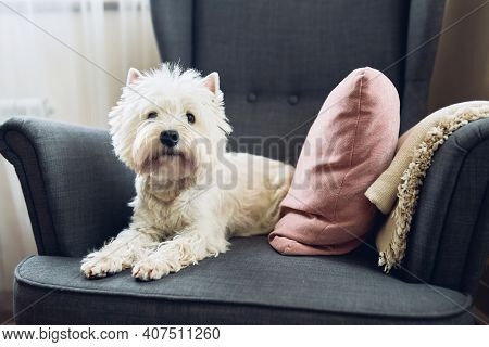 White Terrier, West Highland Dog Sits In A Gray Chair At Home And Looks At The Camera . Breed, Anima