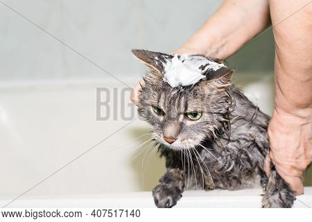 Funny Cat Taking Bath, Close-up. Gray Green-eyed Cat With Foam On Its Head. Female Hands Washing Pet