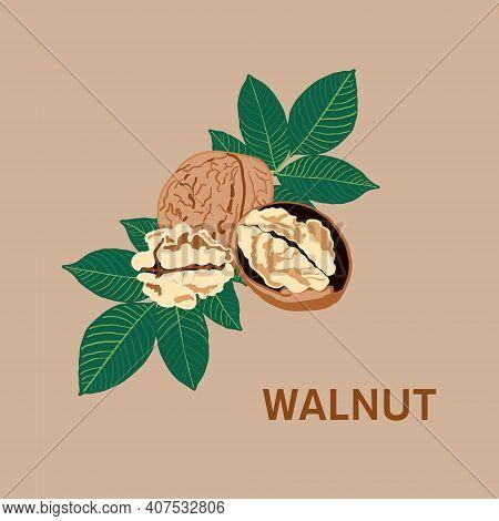 Ripe Walnut, Walnuts Fruits Green Tree Branch
