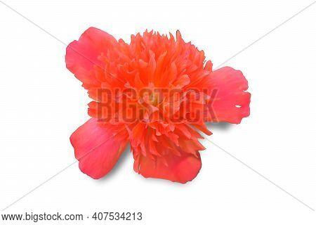 Fresh Orange-red Portulaca Oleracea Isolate On White Background.purslane, Common Purslane, Common Ga