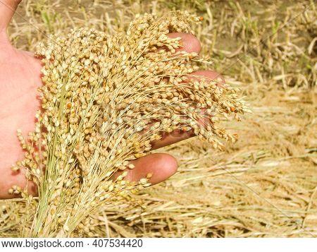 Millet Plant Field & Millet Crop Harvest In Farmers Hand. Yellow Millet Groats Bird Food. Organic Gl