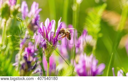On A Sunny Morning, A Bee Pollinates Wildflowers, Collects Pollen And Nectar