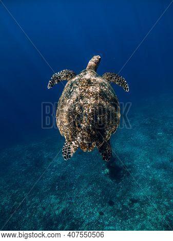 Green Sea Turtle Glides In Blue Ocean. Turtle Swim Underwater