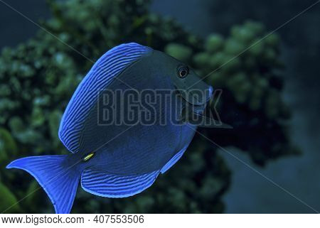 Side View Of A Blue Tang Surgeonfish