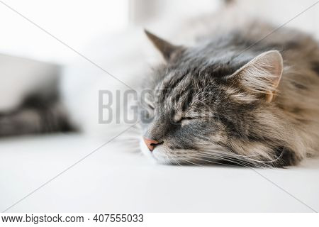 Cat Sleeping Indoors, Close-up. Relaxing Tabby Gray Cat Siberian Breed. Selective Soft Focus