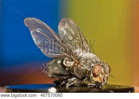 Fly Extreme Macro Shot On Trendy Neon Background. Super Sharp And Detailed View Of Fly Taken With Su