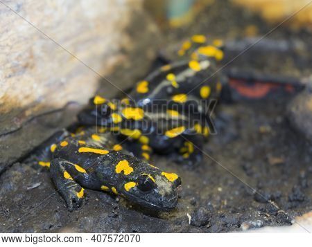 European Fire Salamander Group On The Ground