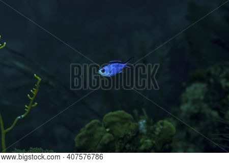 Blue Chromis Swimming Over The Coral Reef