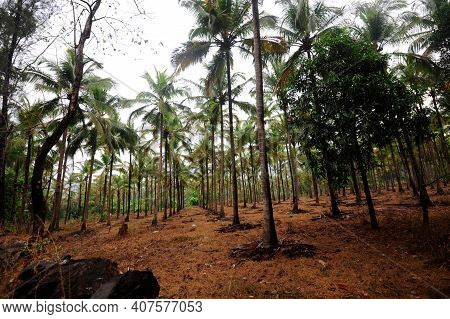 Palm Trees At A Palm Oil Plantation