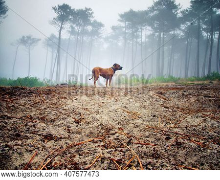 Dog Alone In The Misty Forest. Lost Dog Concept. Portrait Of A Brown Dog In The Forest.