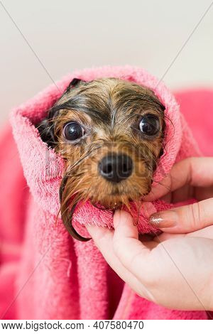 A Wet Dog Is Dried With A Towel In The Grooming Salon
