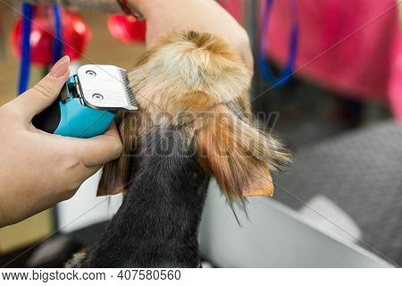 Woman Cuts The Back Of The Dog's Head, Makes A Fashionable, Glamorous Haircut In The Grooming Salon