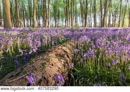 Beautiful Bluebell Woodland With A Fallen Tree In Hampshire England. Natural Wild Forest And Woodlan