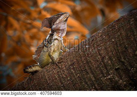 Common Basilisk - Basiliscus Basiliscus Lizard In Corytophanidae, Endemic To Central And South Ameri