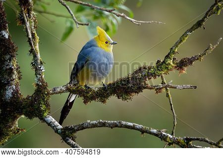 Long-tailed Silky-flycatcher - Ptiliogonys Caudatus Passerine Bird In The Mountains Of Costa Rica An