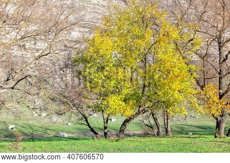 Yellow Tree On The Green Meadow . Autumn Parkland Scenery