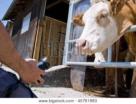 Cow Photographer