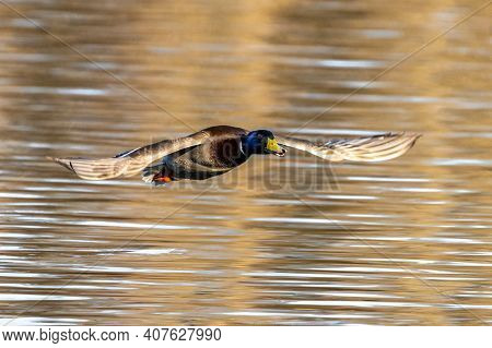 The Mallard, Anas Platyrhynchos Is A Dabbling Duck. Here Flying In The Air.