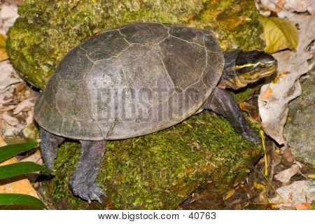 Green Turtoise