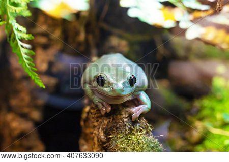 Australian White Tree Frog On A Branch. Litoria Caerulea, Animal, Amphibian Closeup. Soft Focus