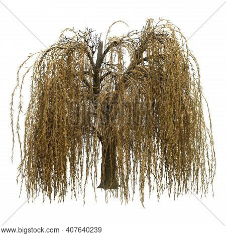 3D Rendering Weeping Willow On White